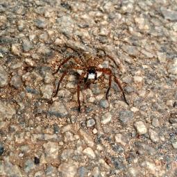Hmm Spider
